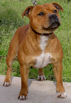 Staffordshire-bull-terrier-licencia