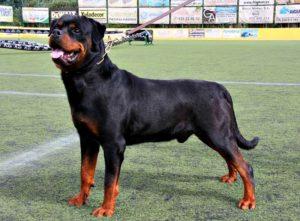 licencia-Rottweiler