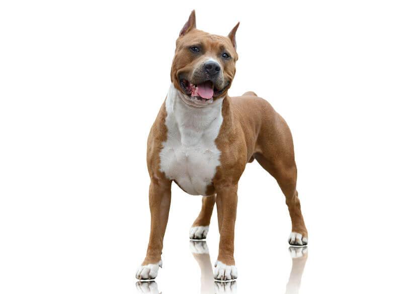seguros-perros-potencialmente-peligorsos